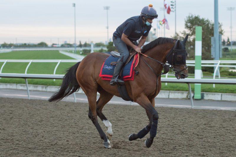 Pattison Canadian International contender Desert Encounter gallops at Woodbine. under exercise rider Pep Singh for trainer David Simcock. (Michael Burns Photo)