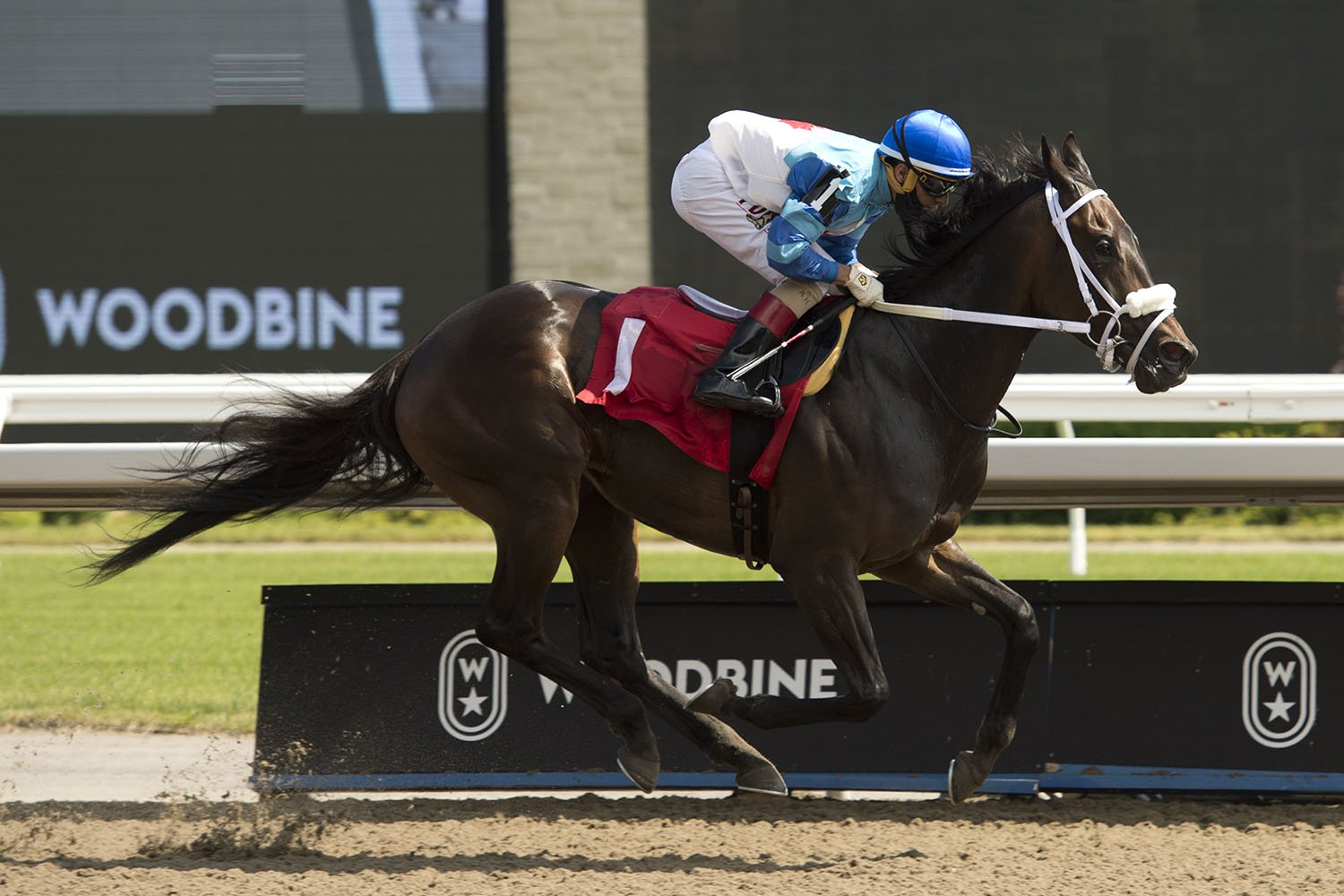 Samurai Queen winning her first start of 2020 on June 19 at Woodbine Racetrack. (Michael Burns Photo)